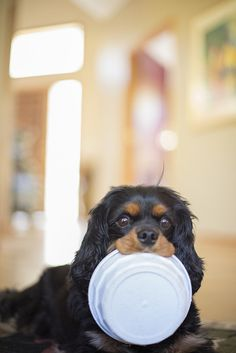 black and tan Cavalier King Charles Spaniel - love these dogs!