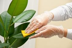 Top 10 Houseplants that Clean Indoor Air: Rubber Plant (Ficus elastica) Ficus Elastica, Rubber Plant Care, Trees To Plant, Plant Leaves, Snake Plant Care, Ficus Tree, Rubber Tree, House Plant Care, Low Maintenance Plants