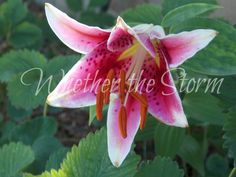 "Pink Tiger Lily ""Predatory Posy"" by WhetherTheStorm on Etsy"
