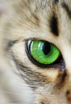 Cat's eye green macro - Probably the best way to describe Willow is that shes a lazy house cat to trips over something, runs - Pretty Cats, Beautiful Cats, I Love Cats, Cute Cats, Funny Cats, Cat Photography, Cat Drawing, Art Plastique, Cat Breeds