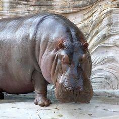 """Что буквально обозначает слово """"гипопотам""""? речная лошадь! Греческое слово гипопотам происходит от hippos (лошадь, как в """"hippika"""") и Потамос (река, как в Месопотамии)."""