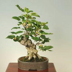 JPB:小品盆栽:山梨:yamanasi