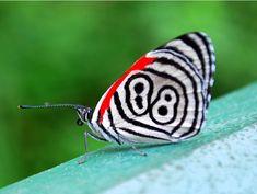 """Borboleta-oitenta-e-oito. ertence ao gênero Diaethria e é encontrada na região neotropical, que vai desde o México até o Paraguai. Normalmente são chamadas de """"oitenta-e-oito"""" em referência ao padrão característico na parte inferior das asas posteriores de muitas delas. O padrão consiste de pontos pretos rodeados por linhas pretas e brancas concêntricas, e normalmente parecem com os números """"88"""" ou """"89""""."""