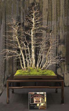 HORNBEAM #bonsai #bonsaitrees