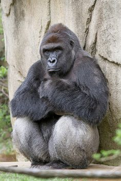 Our new silverback, Harambe
