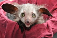 """Rare Aye Aye from Madagascar face extinction because locals think they are """"evil omens"""" : ("""