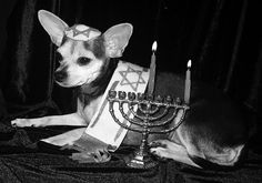 Hanukkah Dog... my little sassy!