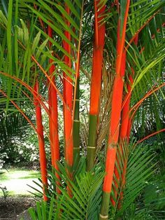 Lipstick palms, brilliant addition to a tropical north Queensland garden