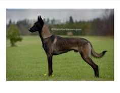 Gorgeous dark fawn sable Belgian Malinois from Malinger Kennels.