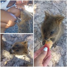 50 shades of quokkas . I'm so in love with those cutties.  #Rottnest #RottnestIsland #Paradise #island #summer #summertime #quokkas #cuteness #Australia #Wildlife #beautiful #WA #Perth #westernaustralia #dreamcametrue by queen_ino http://ift.tt/1L5GqLp