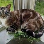 Samson loves his cat grass, but he enjoys it in a somewhat unconventional way ... .