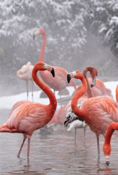 Flamingoes at National Zoo, Washington #snow #nature #pink #white #elegant