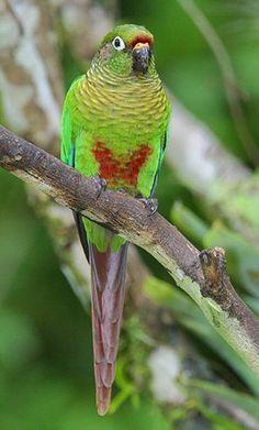 Pyrrhura | Argentina nativa: Chiripepe de cabeza verde (Pyrrhura frontalis)