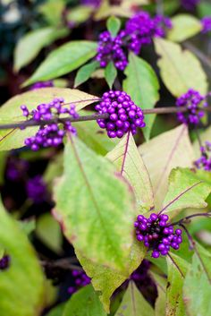 Autumn colour: Callicarpa bodinieri 'Profusion'. A deciduous shrub that does best in fertile, well-drained soil. Clusters of glossy purple berries provide autumn interest.   For more about this plant see  http://www.gardenersworld.com/plants/callicarpa-bodinieri-var-giraldii-profusion/3327.html  Photo by Paul Debois.