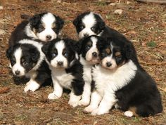More Puppy Photos - Quality Aussies