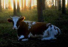 Lehmä, kesä, laidun, auringonnousu...