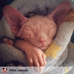 This bundled up beauty. | 28 Sphynx Cats That Are Terrifyingly Cute