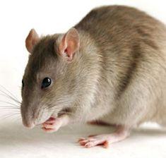 Animais de Poder   RATO   É a medicina da atenção e da introspecção. Os ratos trabalham uma grande energia de metodologia. Evocar para tomar consciência das coisas sutis da sua vida. Aprender a apreciar as coisas simples e pequenas. Se auto preservar e observar os detalhes.