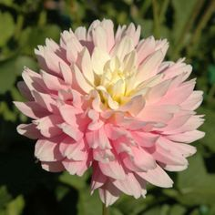 388 best flower identification images on pinterest in 2018 chilsons pride bbid introduced in 1984 4 blooms of pure pink with mightylinksfo
