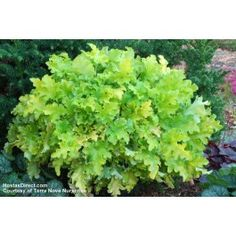 Specialist Growers of Heucheras, Heucherella, Tiarella, Hardy Perennials and many new and unusual plants Plant Breeding, Coral Bells, Astilbe, Hardy Perennials, Unusual Plants, Heuchera, Key Lime Pie, Shade Garden, Plant Care