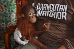 The orangutan baby Bawan survived both being shot at and captured before it was rescued by the rescue team at Nyaru Menteng orangutan rehabilitation center.  Today he has a good life thanks to the caring and competent staff at Nyaru Menteng and to the thousands of private donors who have made a symbolic adoption of an orphaned orangutan to support the work of saving the orangutan and its rainforest home.
