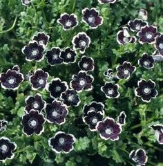 50 PENNIE BLACK - NEMOPHLIA Discoidalis Penny White Flower Seeds *Comb S/H Seedville http://www.amazon.com/dp/B009A1S58Y/ref=cm_sw_r_pi_dp_eWc5ub1JJS06R