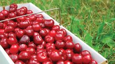 Emperor Francis Sweet cherries, from Eshleman Fruit Farm