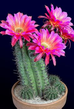 These Gifs Of Flowers Blooming Are Insanely Satisfying - Watching These Cactus Flowers Bloom Is Completely Mesmerizing - Bloom, Planting Flowers, Plants, Daffodil Flower, Cacti And Succulents, Blooming Cactus, How To Grow Cactus, Balcony Flowers, Blooming Flowers