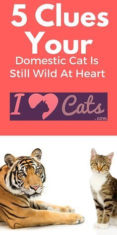 Your kitty may be more like a wild cat than you think;)