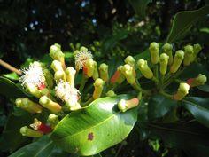 Gewürznelken  (Syzygium aromaticum L. Merrill et L. M. Perry)