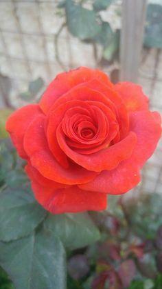 Orange Roses, Red Roses, Beautiful Roses, Pretty Roses, Coming Up Roses, Hybrid Tea Roses, Exotic Flowers, Marie, Cactus