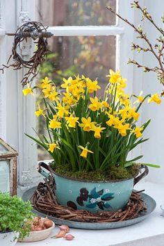 Narcissus 'Tete a Tete' in blue enamel pot - © Friedrich Strauss/GAP Photos