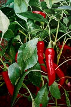 How to Grow Chili Peppers