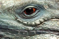 A portrait of a Grand Cayman blue iguana from the Sedgwick County Zoo, Wichita, Kansas, United States of America Nature Animals, Animals And Pets, Funny Animals, Les Reptiles, Reptiles And Amphibians, Eye Photography, Animal Photography, Drake, Reptile Eye