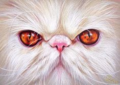 White Persian Cat Dr