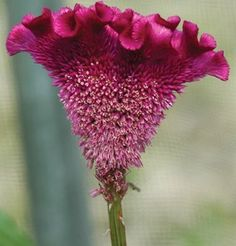 Flower Celosia Bombay Purple D1438A (Purple) 10 Seeds by David's Garden Seeds David's Garden Seeds http://www.amazon.com/dp/B00GB8S53O/ref=cm_sw_r_pi_dp_2kVxub02B7G5W