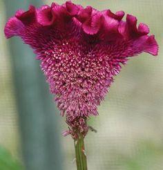 Flower Celosia Bombay Purple D1438A (Purple) 10 Seeds by David's Garden Seeds David's Garden Seeds http://www.amazon.com/dp/B00GB8S53O/ref=cm_sw_r_pi_dp_2kVxub02B7G5W