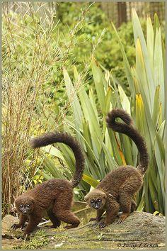 153 Best Animals- lemurs, tarsias, loris, sifaka, colugos ...
