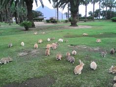"""Okuonoshima, aka """"bunny island"""". Once used as a poison gas testing facility, now it has been occupied by bunnies. There's a nice beach, museum and an onsen there too."""