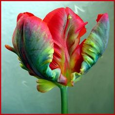 Parrot tulip - I'd like to incorporate my love of parrots in to my wedding decor (even though I have a woodland theme!)
