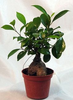 "Imported Chinese Ginseng Ginger Ficus Pre-Bonsai Tree - 4"" Pot"