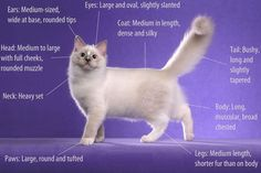 Ragdoll cats are well known and well-loved for their affectionate nature, beautiful appearance, and good health, thus, their popularity among cat lovers.