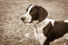 Coonhound / Английская енотовая гончая