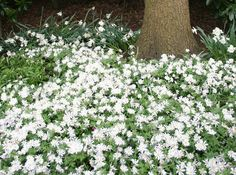 Anemone Blanda - Ground Cover and Border Tips & Ideas | Flower Bulb Crazy