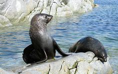 Two fur seals enjoy the sun while resting on rocks at Dream Island, located near Palmer Station, #Antarctica. [Photo credit: Madison McConnell, NSF]