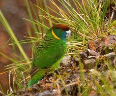 Painted Tiger-parrot (Psittacella picta) / Ленточный попугай буроголовый