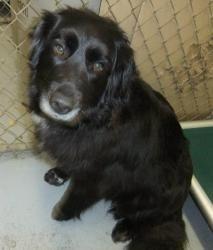 Suzie: Spaniel, Adoptable Dog; Meadow Lake, SK