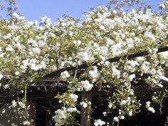 Image result for tombstone rose bush