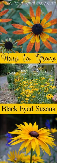 How to Grow Black Eyed Susans, easy flowers for your cottage garden. Easily reseeds for years of enjoyment and ease. FlowerPatchFarmhouse.com: