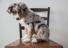 Beat my allergies and own a puppy! Australian Shepherd, Blue Merle.